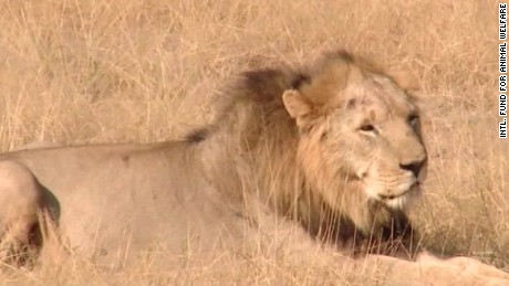 us lists african lion endangered flocken intv_00004802