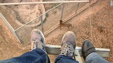 cnnee vo china zoo men jump to tigers _00002109