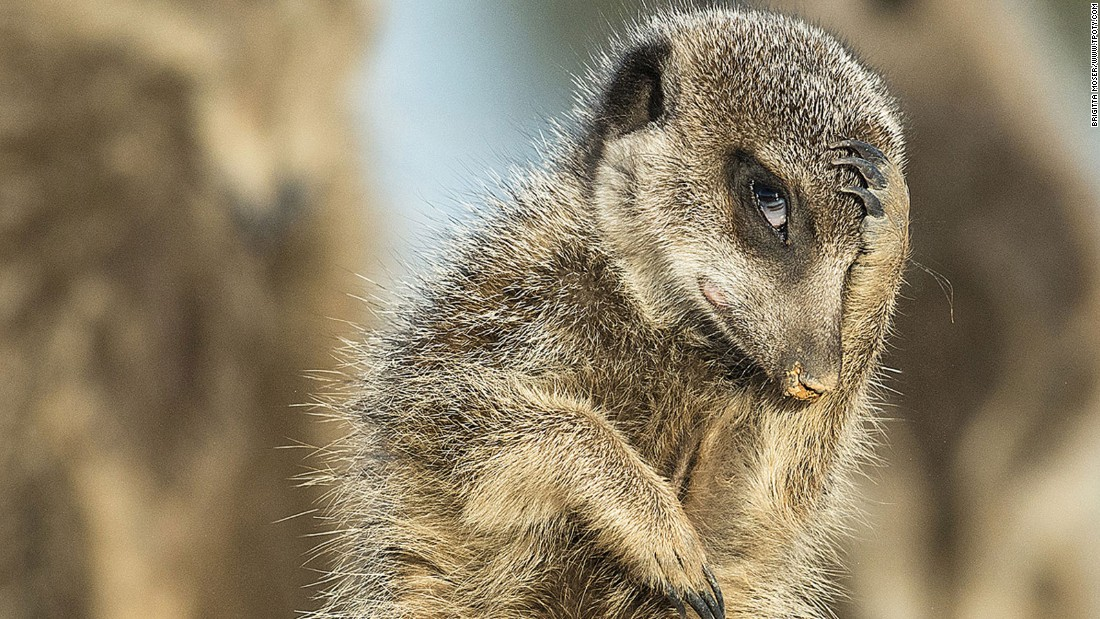 "It's not just people who struggle with early morning starts. Austrian photographer Brigitta Moser's ""nature and wildlife"" photo shows a meerkat getting to grips with the day in Little Karoo, South Africa.(Photo: Brigitta Moser/www.tpoty.com)"