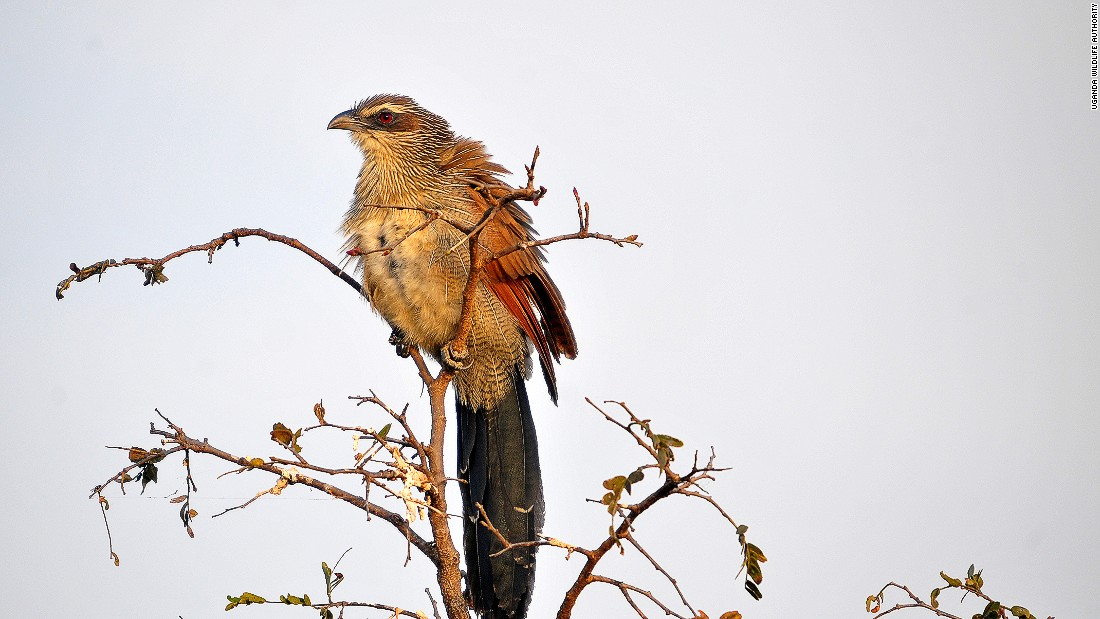 Avid birdwatchers can also spot white-browed Coucal.
