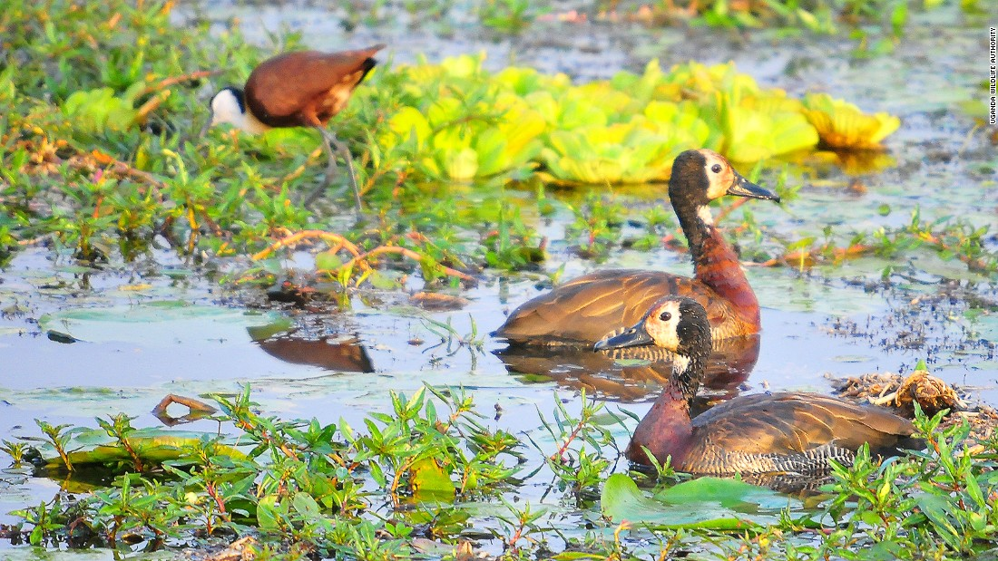 In addition to the ostrich, many of the park's other birds, including these White-faced Whistling Ducks, live in the Kidepo Valley.
