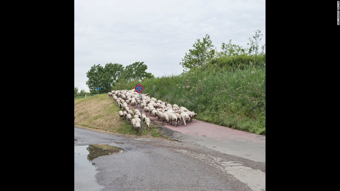 Sheep cross the lane in northern Rome.