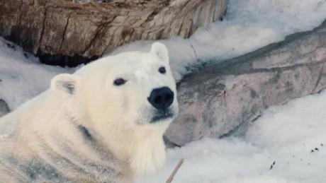 cnnee vo polar bear san diego zoo _00005518