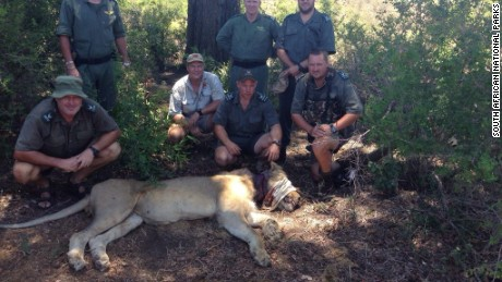 A lion found with a snare around its neck was tranquilized and treated, South Africa's Kruger National Park said.