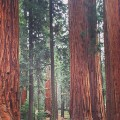 sequoia - first national parks RESTRICTED