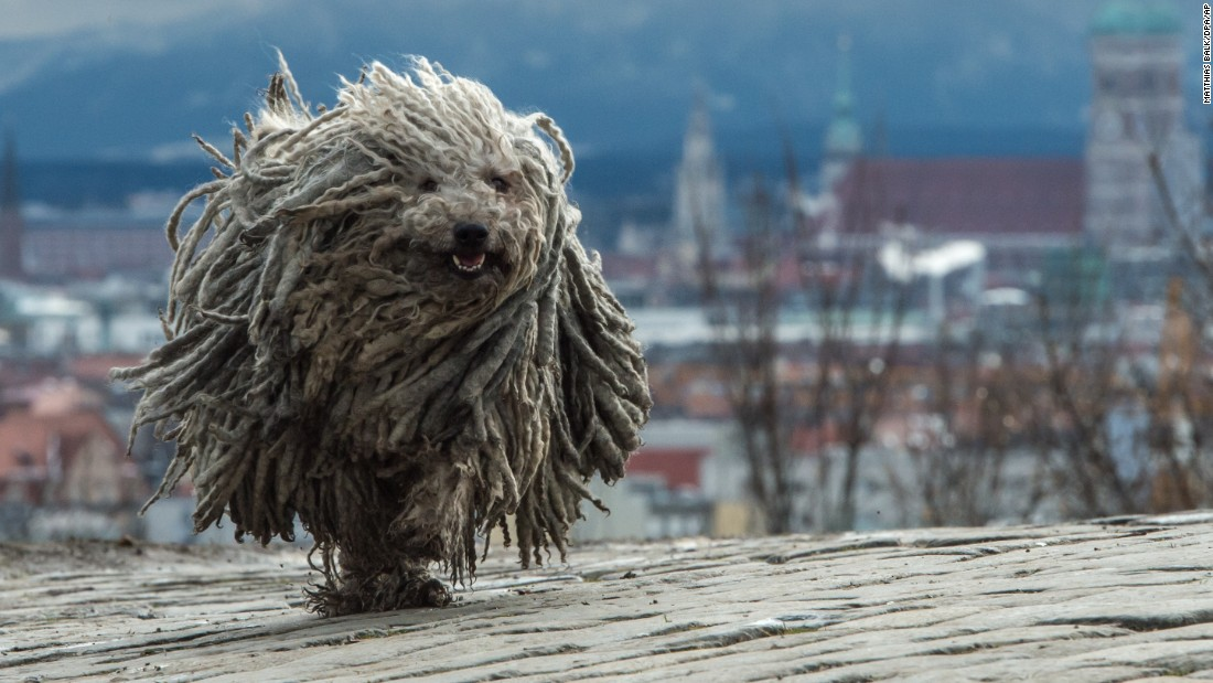 Derci, a Hungarian sheepdog, runs in Munich, Germany, on Monday, January 4.