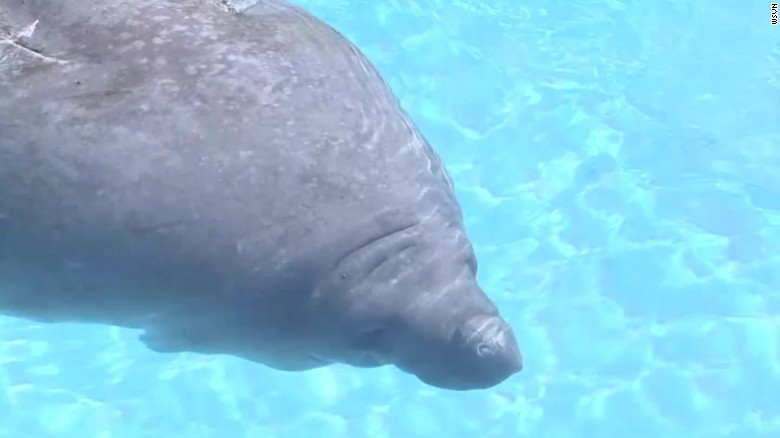 manatees to lose endangered status_00004522