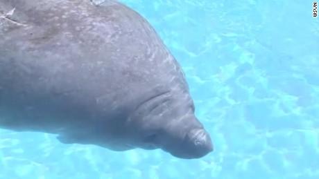 manatees to lose endangered status_00004522.jpg