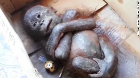 mummified orangutan recovery orig vstan dlewis_00000000