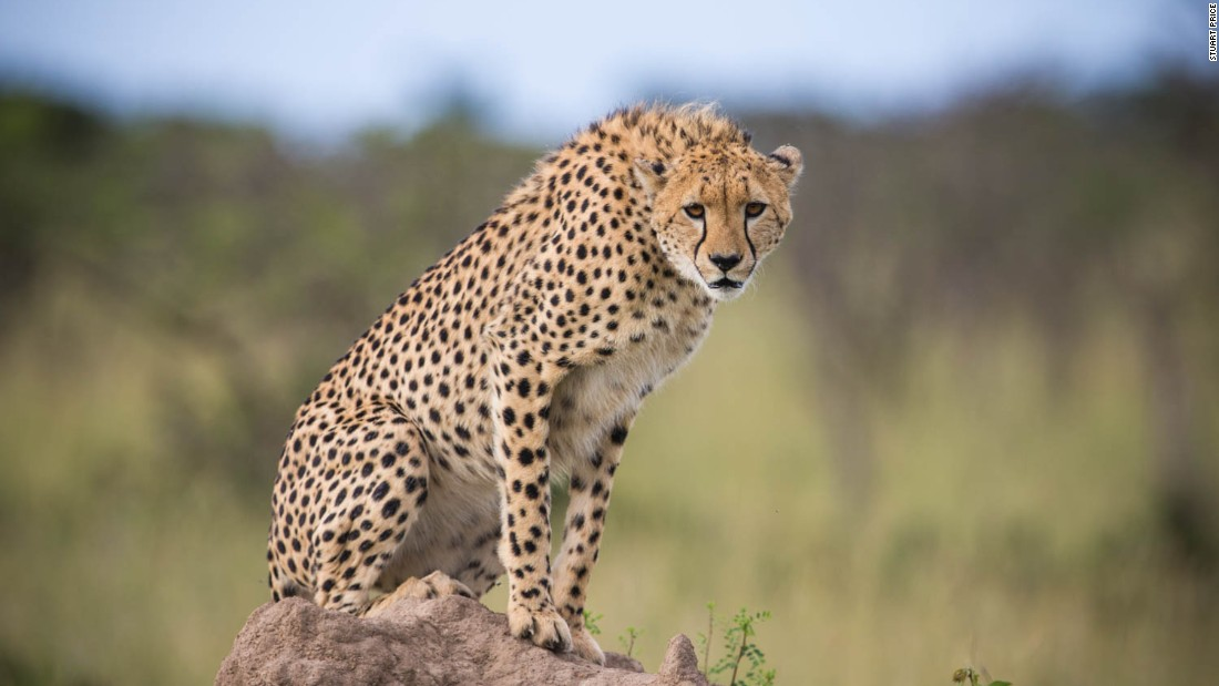 The Kenyan government hopes to attract more tourists with this initiative by showcasing the types of animal interactions available on a typical safari.