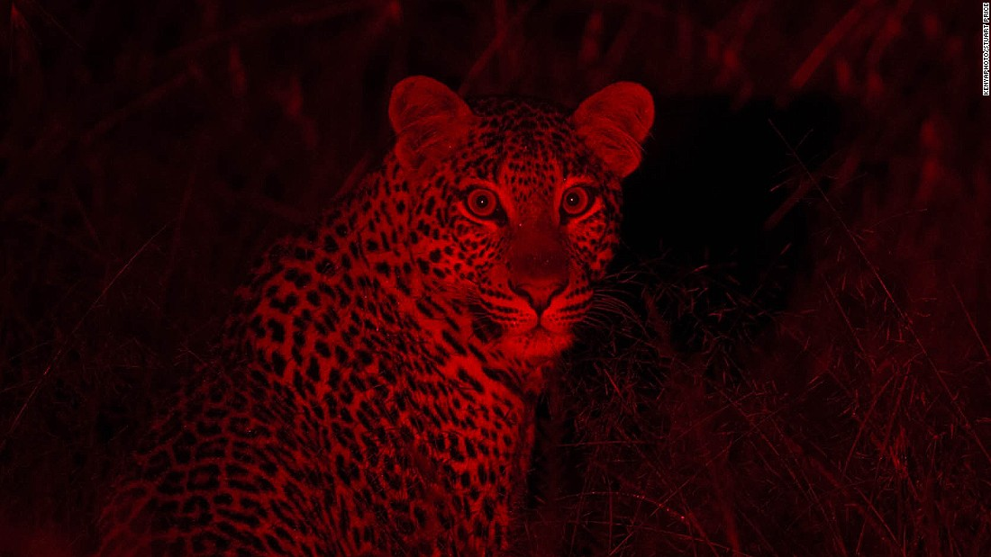 Kenya's Ministry of Tourism recently launched #KenyaLive, which enables internet users the world over to view big cats interacting in real-time via Twitter's Periscope app. At night, the film crew use infrared cameras to capture the animals in their natural habitat.