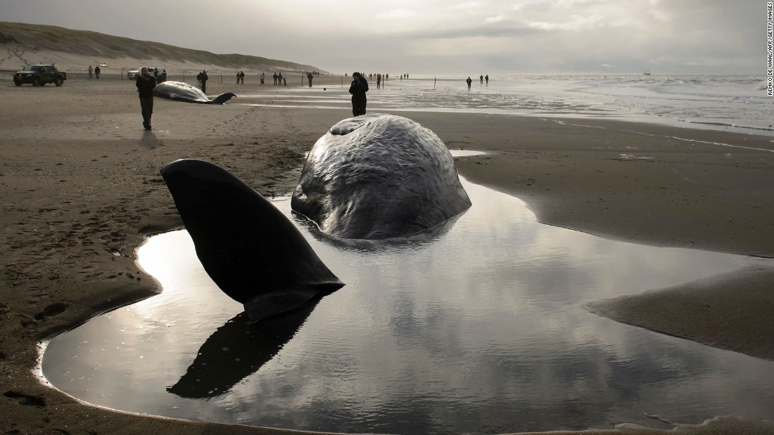 People stand near beached sperm whales on the Dutch island of Texel on Wednesday, January 13. Five whales died, officials said. Experts said they were badly injured.