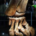 Titanosaur foot