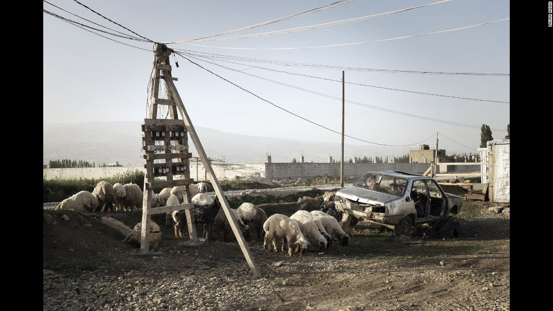 Animals graze at a refugee camp in the Bekaa Valley.
