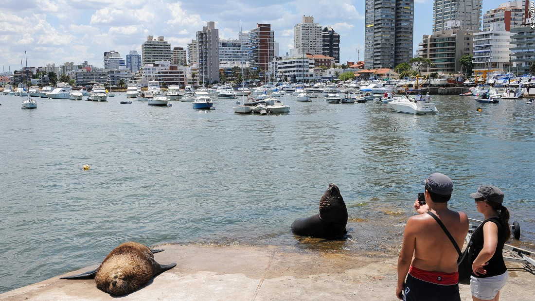 "Isla de Lobas, just southeast of Punta del Este, is home to South America's largest colony of sea lions. Some of the ""residents"" are seen here hanging out at Punta del Este's marina."