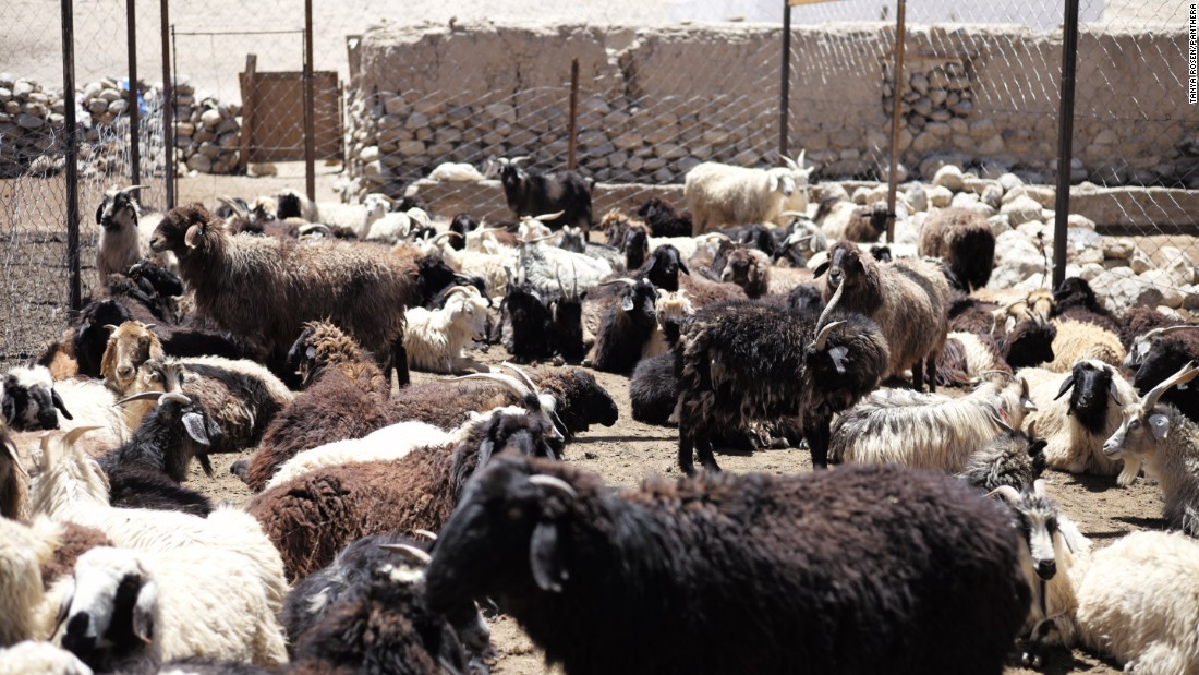 Sheep and goats in a predator-proofed corral built by Panthera as part of a community-based conservancy project in Alichur, Eastern Pamirs, Tajikistan. The animals can pose a threat to the livelihoods of local herders.