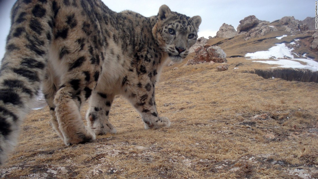 "A snow leopard peers back curiously at a camera trap in Qinghai Province, Tibetan Plateau, China. Known locally as ""mountain ghosts,"" snow leopards inhabit the major mountain ranges of Asia."