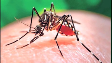 The bloodsucker everyone's after is the Aedes aegypti mosquito.