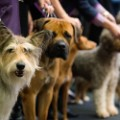 seven new dog breeds Westminster 1