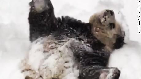 Tian Tian giant panda snow zoo orig vstop dlewis_00000000.jpg