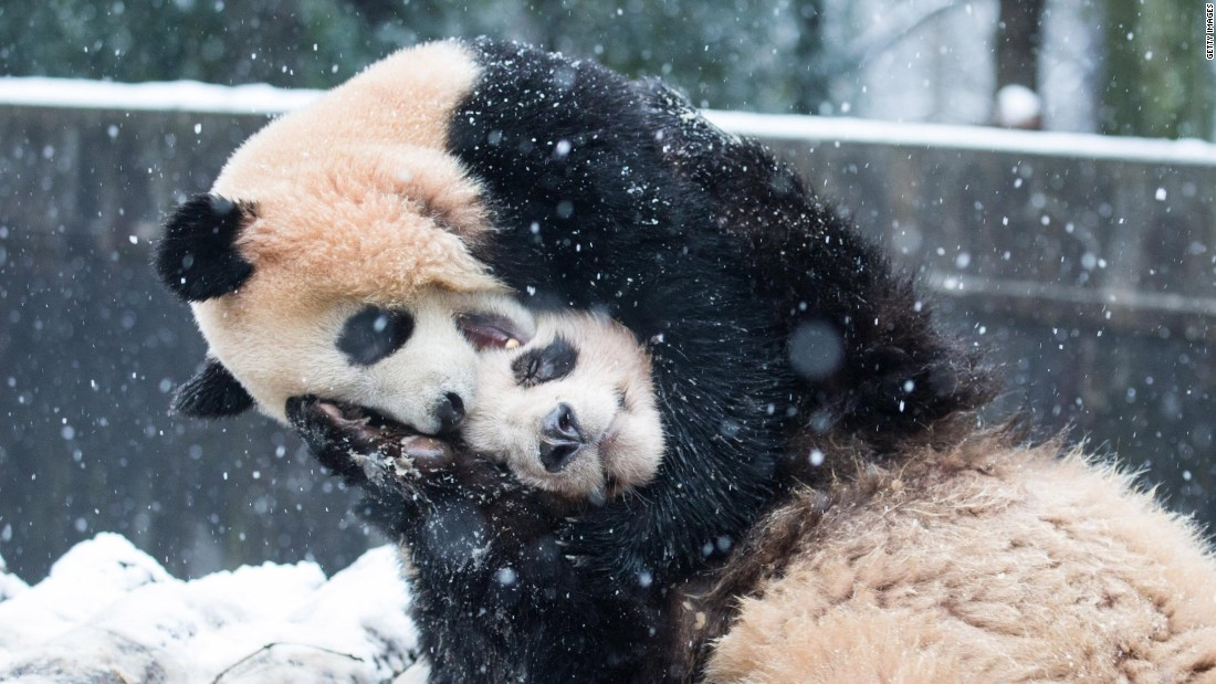 Two pandas playing in snow inside their enclosure at a zoo in Hangzhou, Zhejiang province. Mountainous areas in the province recorded a historical low temperature of minus 20 degrees Celsius (minus 4 Fahrenheit) on January 24.