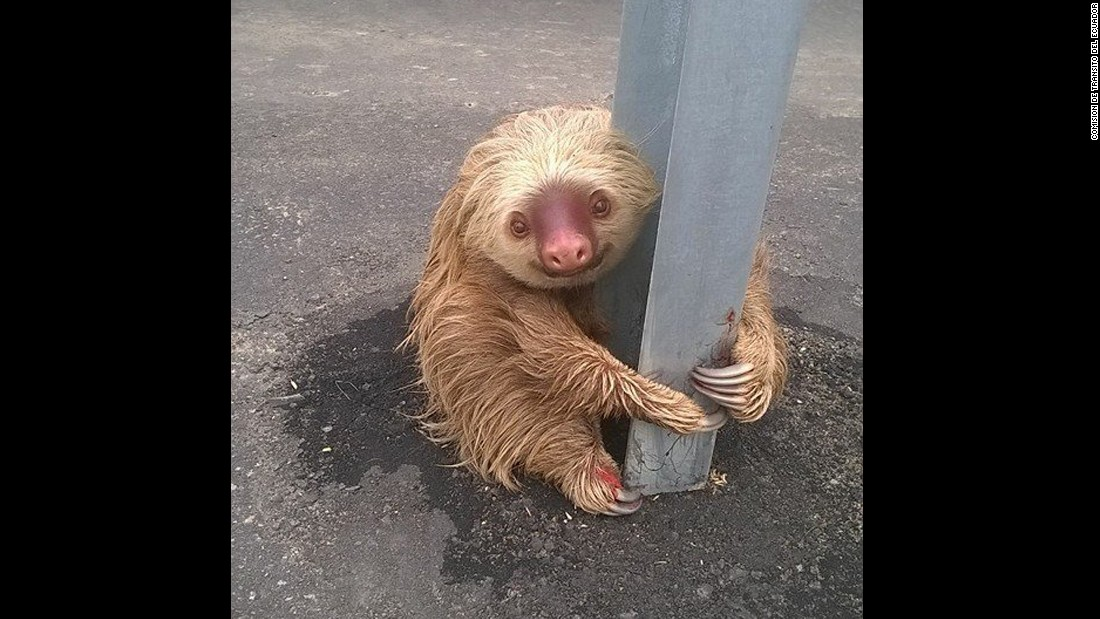 "A sloth holds onto a post of a traffic barrier in Quevedo, Ecuador, on Friday, January 22. Photos of the sloth, posted to Facebook by the Transit Commission of Ecuador, <a href=""http://www.cnn.com/2016/01/25/world/sloth-officer-feat/"" target=""_blank"">went viral on social media.</a> One of the commission's officers rescued the animal, which appeared to be trying to cross a road."