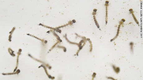 Aedes Aegypti mosquito larvae are photographed in a lab of the International Training and Medical Research Center in Cali, Colombia, on January 25. CIDEIM scientists are studying the genetics and biology of the mosquitoes to control their reproduction and resistance to insecticides.