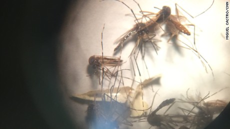 The mosquito Aedes aegypti is seen through a microscope.