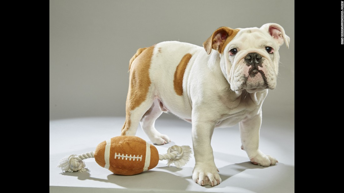 "One of 49 puppies in this year's Puppy Bowl starting lineup, bulldog Otis hails from the <a href=""http://www.adoptwcac.org/"" target=""_blank"">Williamson County Animal Center</a> in Tennessee. Click through the gallery to see more players, or visit Animal Planet for the <a href=""http://www.animalplanet.com/tv-shows/puppy-bowl/photos/puppy-bowl-xii-starting-lineup/"" target=""_blank"">full lineup</a>."