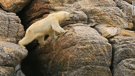 A decline in polar bear sizes has been linked to Arctic warming.