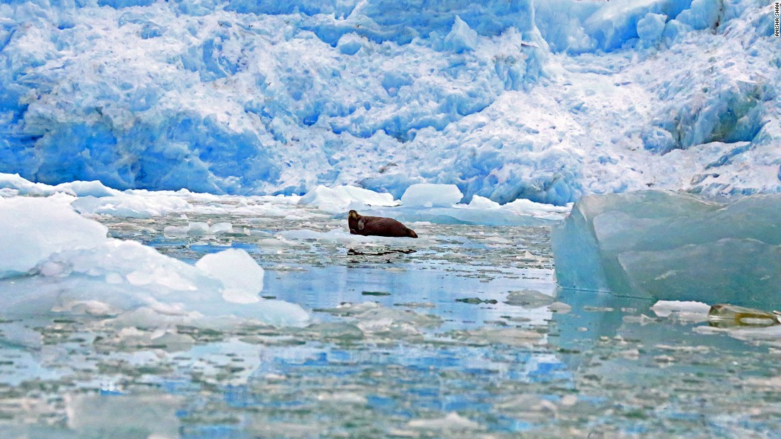 Harp seals can be found around Norway's northernmost islands. On the ice, they're hunted as food by polar bears, in the water they're prey for whales. They're also hunted commercially by Norway, Canada and Russia.