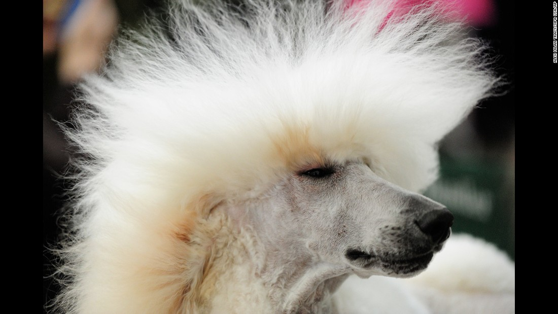 Maserati, a poodle from Utah, has his hair dried Sunday, January 24, at the Rose City Classic Dog Show in Portland, Oregon.
