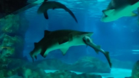 cnnee vo enc tiburon se come a tiburon _00002609