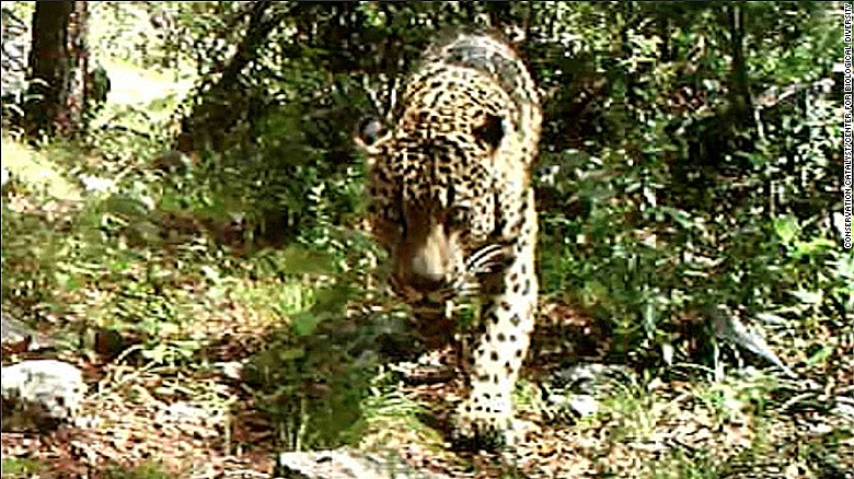 Rare wild jaguar spotted living in U.S.