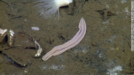 Xenoturbella profunda, one of four new species of deep-sea worm that have shed light on how animals evolve.