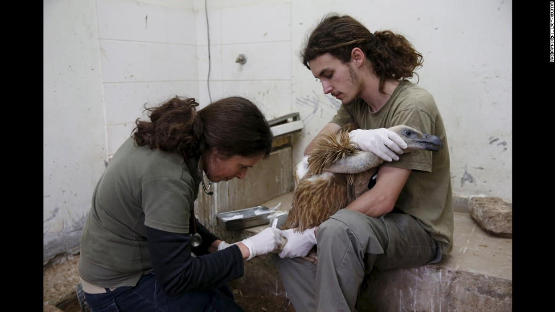 "A griffon vulture is examined by staff members at the Ramat Gan Safari, a zoo near Tel Aviv, Israel, on Friday, January 29. The bird <a href=""http://www.cnn.com/2016/01/27/middleeast/israel-vulture-lebanon-spy/"" target=""_blank"">had been captured in Lebanon</a> on suspicion of spying."