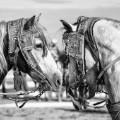 fantasia horse festival horses