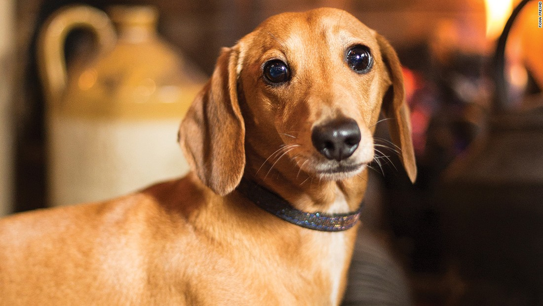 "Fiona Freund and Graham Fulton's book ""Pub Dogs of London"" features full-page portraits of the city's canine customers, as well as interviews with their owners about the dogs' interests. Dachshund Boris, pictured, dislikes rain and enjoys the open fireplace at <a href=""http://www.churchillarmskensington.co.uk"" target=""_blank"">The Churchill Arms</a> in Kensington."