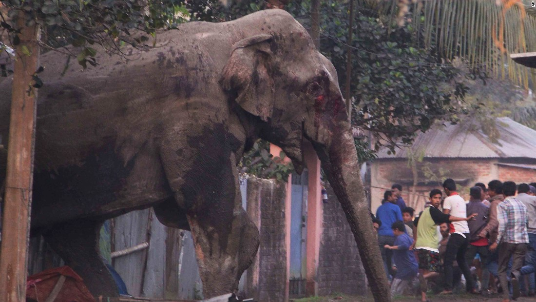 People run from a wild elephant that strayed into the Indian town of Siliguri on Wednesday, February 10. The elephant had wandered in from the Baikunthapur Forest, crossing roads and a small river before entering the town. He trampled parked cars and motorbikes before being tranquilized by wildlife officials.
