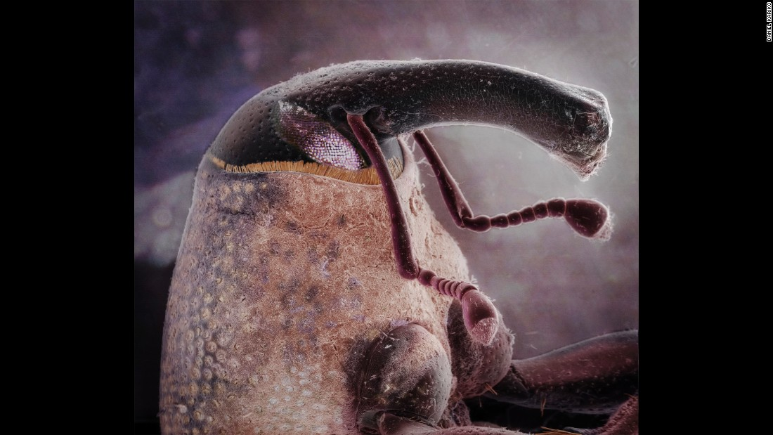 This magnified photo of a weevil is one of the many insect portraits taken by Daniel Kariko, an assistant professor of fine art photography at East Carolina University.