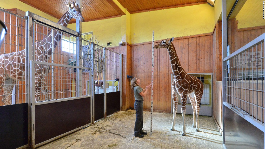 Zookeeper Susanne Meyer measures the height of a baby giraffe at the Thuringer Zoo in Erfurt, Germany, on Wednesday, February 10.