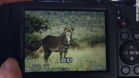 Zebra enthusiasts took more than 100,000 photographs during the Great Grevy's Rally.