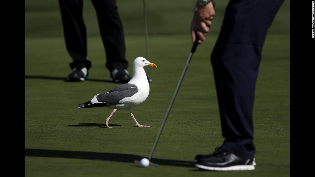 A seagull walks across the sixth green while players putt at the Pebble Beach National Pro-Am on Thursday, February 11.