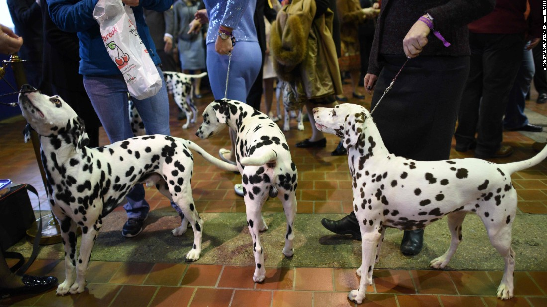 "A group of dalmatians waits in the judging area. The show is ""benched,"" meaning the dogs must be on public display to ticket-holders throughout the competition."