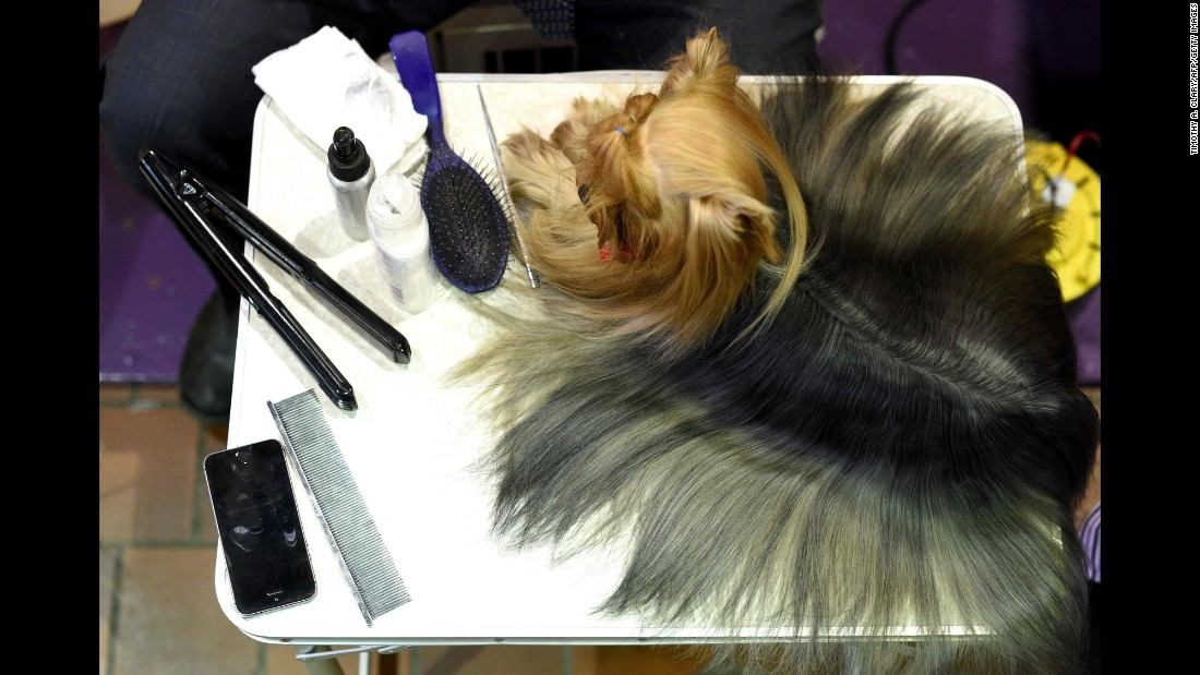 A Yorkshire terrier is groomed in the benching area. Breeds are categorized into groups: Sporting, Hound, Working, Terrier, Toy, Non-Sporting and Herding.