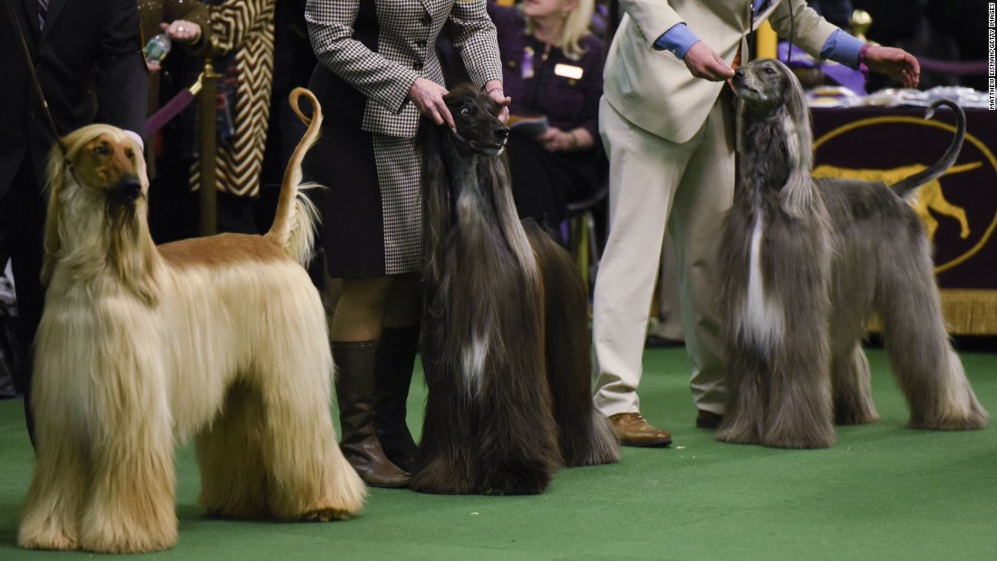 Old English Sheepdog Westminster Dog Show