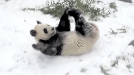 da mao giant panda snow day toronto zoo orig vstan bpb_00002228.jpg