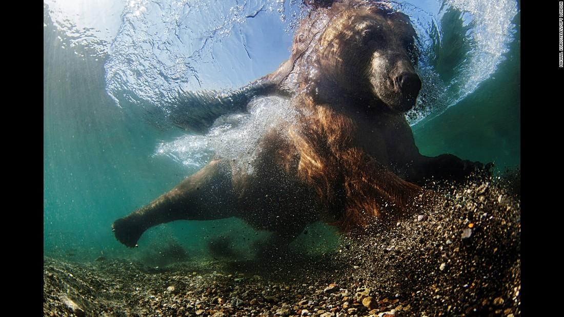 "Mike Korostelev used a protective cage when he captured ""Underwater Fisherman,""  of a brown bear fishing in Russia"