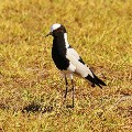 kenilworth_Blacksmith lapwing b