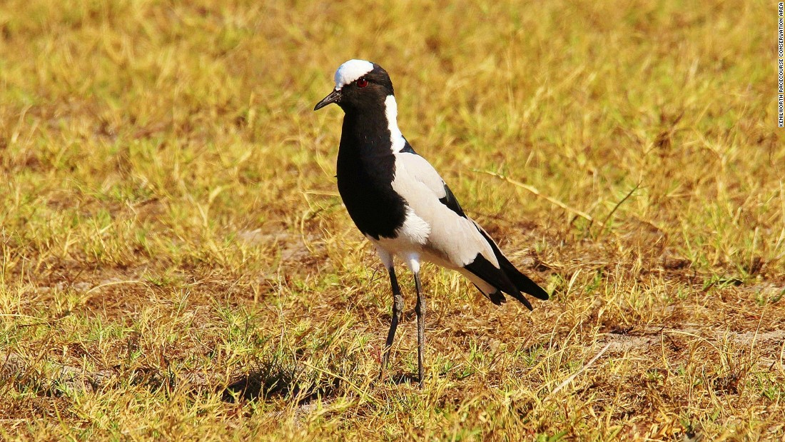... and this Blacksmith lapwing -- one of five lapwing species in the world.